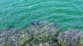 aquatic plants : surf The crystal clear water until you see rocks and sea urchin