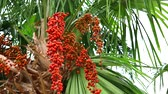 medio oriente : colorful red palm seeds on palm tree in garden and green leaves moving