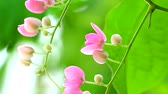 пчела : Mexican Creeper plant has pink bouquet flowers blooming on tree in park
