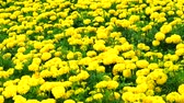 aztek : Mexican marigold yellow flowers panning to the field in summer1