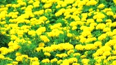aztek : Mexican marigold yellow flowers panning to the meadow in summer1