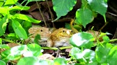жаба : Frogs live away from the sun in shade of trees and are active at night2 Стоковые видеозаписи