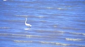 lovec : Egret are looking for seafood by the beach1