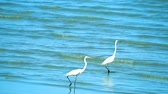 garça : Egret are searching for seafood by the beach