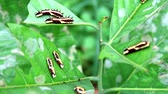 housenka : worms are eating all leaves to accumulate energy during the body of a butterfly