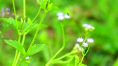 emilia : emilia sonchifolia has health benefits a tea made from leaves is used in treatment of dysentery3