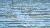 garça : Egret are looking for seafood on the beach2