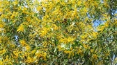 akác : Earleaf acacia yellow bouquet flower blooming all tree and green leaves background