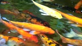 золотая рыбка : colorful koi fish or carp fish are swimming in the lake Стоковые видеозаписи