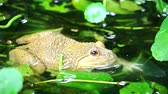 жаба : Frogs live away from the sun in water and are active at night1 Стоковые видеозаписи