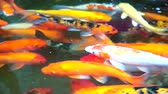 kapr : colorful koi fish or carp fish are swimming in nature pond