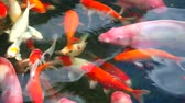 feeding fish aquarium : koi fish or carp fish are swimming in pond and one fish is breathing on water surface Stock Footage