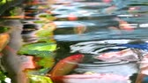 feeding fish aquarium : koi fish or carp fish are swimming in the pond and breathing on water surface