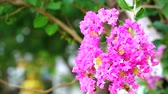 lagerstroemia : Queen flower or Lagerstroemia speciosa have pink and light color blooming on tree in garden