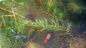 feeding fish aquarium : guppies fish swim and find food among soft algae Stock Footage