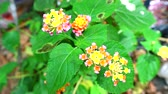 хедж : Cloth of gold pink yellow flower blooming in the garden and green leaves