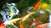 feeding fish aquarium : multicolor of koi fish or carp fish are swimming in the pond in park