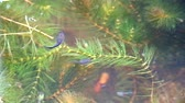 feeding fish aquarium : guppies fish swim and find food among soft algae, focus on food on water1