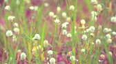 buquê : Gomphrena weed is white flower, it is growing is a common weed in the tropics Stock Footage