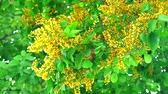 fiori di campo : Burma padauk yellow bouquet flowers blooming in the garden1 Filmati Stock