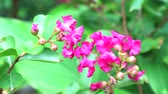 temas : Crape myrtle pink bouquet flowers blooming in the garden