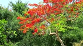 tavuskuşu : The Flame Tree, Royal Poinciana in the park moving by wind in morning1