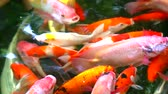 feeding fish aquarium : koi fish or carp fish are swimming in the pond are find to eating on water surface