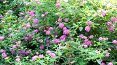 hagen : lantana colorful pink white bouquet flowers blooming all and butterfly in the garden