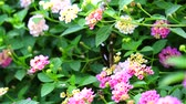 hagen : butterfly find sweet on pink white lantana camara bloom in the garden