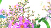 приукрашивание : Lagerstroemia speciosa pink white flower bloom and seed in the autumn