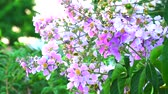 приукрашивание : Lagerstroemia speciosa pink white flower bloom and seed in the autumn2 Стоковые видеозаписи