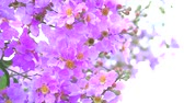 приукрашивание : Lagerstroemia speciosa pink white flower bloom in the garden in autumn Стоковые видеозаписи