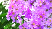 приукрашивание : panning Lagerstroemia speciosa pink white flower bloom in the garden in autumn