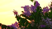 приукрашивание : Lagerstroemia speciosa pink white flower bloom and sunset light