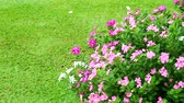 czerwona róża : pink white madagasca periwinkle, rose periwinkle and green grass in the garden Wideo