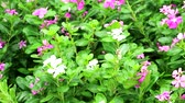 padrão floral : pink white madagasca periwinkle, rose periwinkle and green leaves in the garden