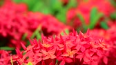 с шипами : red Ixora flowers and green leaves in the blur garden background