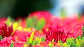 с шипами : red Ixora flowers and green leaves in blur garden background Стоковые видеозаписи