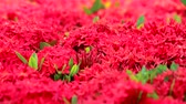 с шипами : red Ixora flowers and green leaves in the blur garden background2 Стоковые видеозаписи