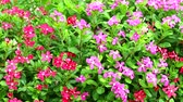czerwona róża : pink red madagasca periwinkle, rose periwinkle and green leaves in garden Wideo
