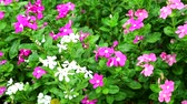 czerwona róża : pink white madagasca periwinkle, rose periwinkle and green leaves in the garden