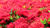 su damlası : red Ixora flowers and green leaves  in the garden background