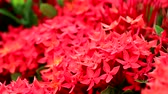 с шипами : red Ixora flowers and green leaves in the garden background