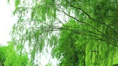 weeping willow tree and green leaves wall swing by wind in garden