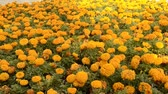 kırpma : Flowerbed of orange chrysanthemums