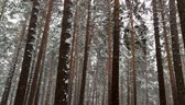 Snowfall in the forest. Pines in the snow Vídeos