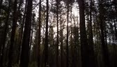 trilhas : Pine forest in the dark Stock Footage