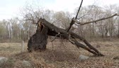 Large old broken tree in a spring forest