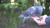the pigeon pecks the seeds,flown on a human hand.