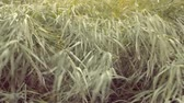 wind gust : wind shakes the grass Stock Footage